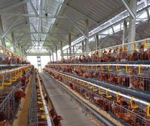 Analisa Usaha Ayam Petelur 100 Dan 1000 Ekor